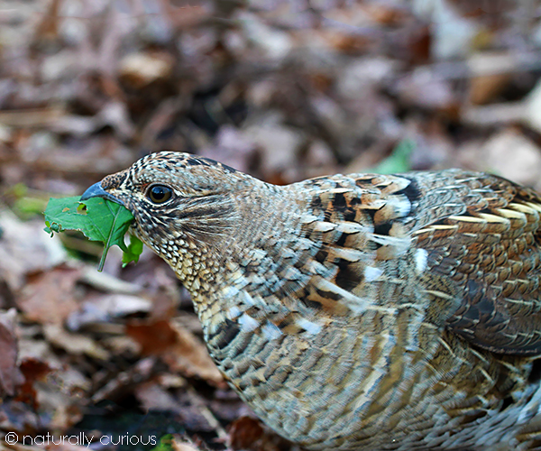12-10-18 grouse IMG_2368