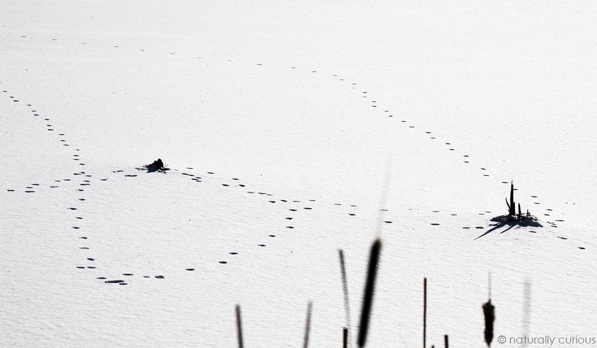 12-14-18 fox tracks_U1A8060