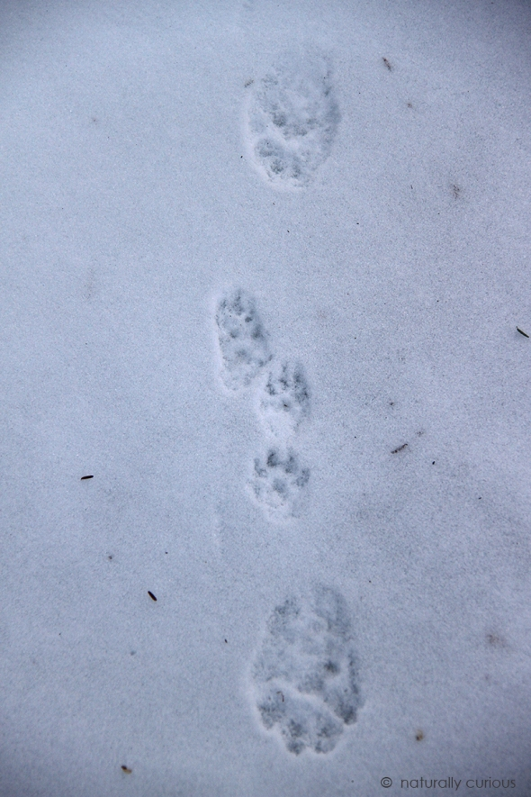 1-16-19 fisher and mink tracks img_2238