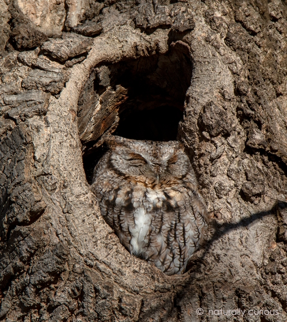 1-25-19 gray screech-owl _u1a9516