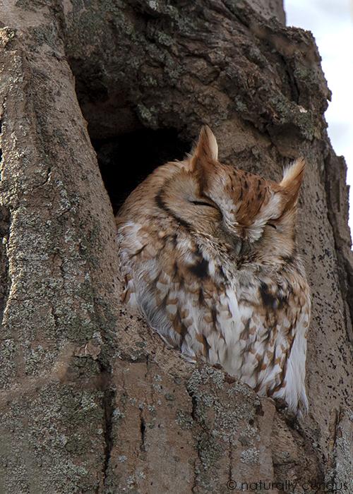 1-7-18 nc screech owl in cavity_u1a8484