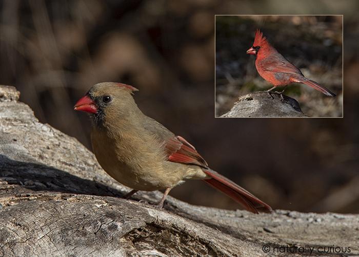 2-15-19 cardinals _U1A8442