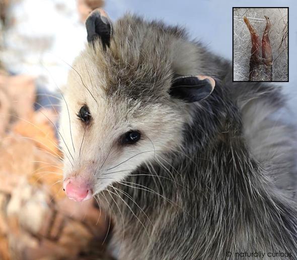 2-18-19 opossum 025