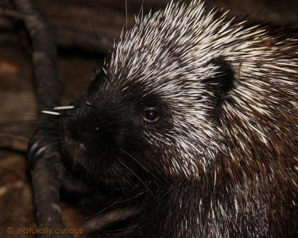 2-25-19 porcupine IMG_6292