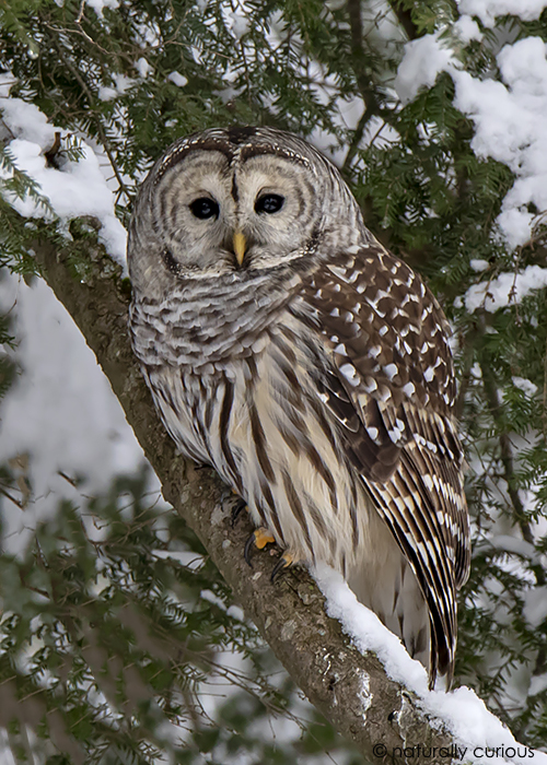 3-4-19 barred owl _U1A2992