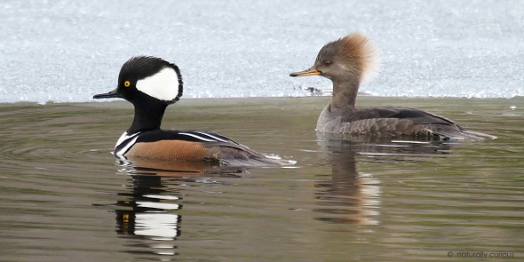 3-11-19 hooded mergansers IMG_3457