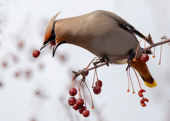 3-15-19 bohemian waxwing dropping crab apple_U1A5117