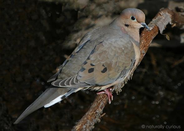 3-18-19 mourning dove IMG_2091