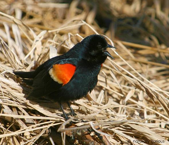 3-18-19 red-winged blackbird IMG_2331