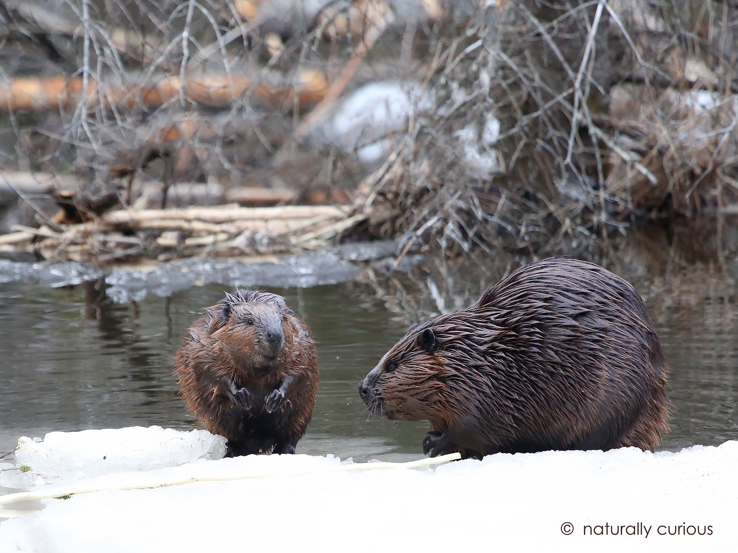3-22-19 beavers 935