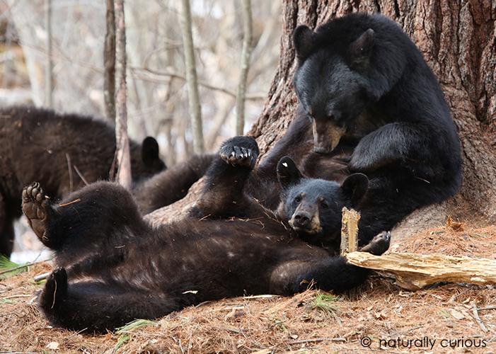 3-25-19 black bears 1214
