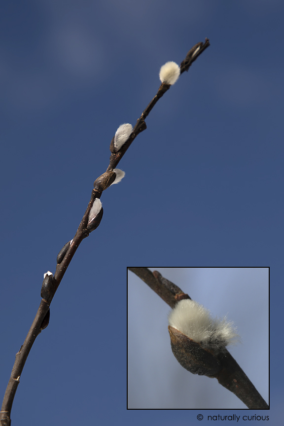 3-27-19 pussy willow_U1A5143