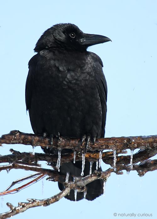 3-6-19 A. crow IMG_1920