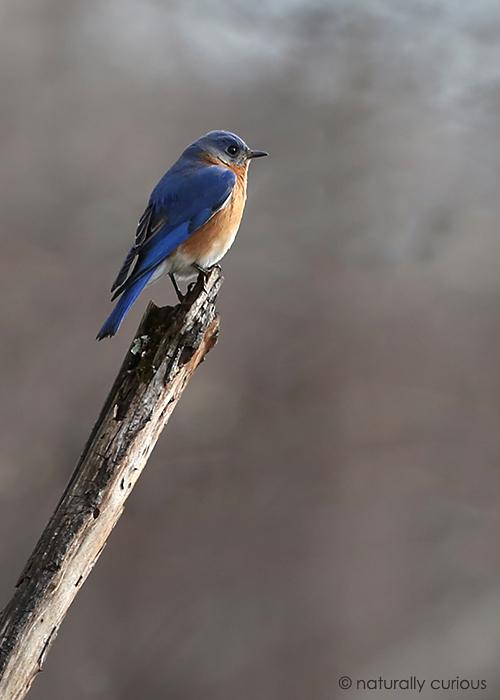 4-10-19 bluebird 548