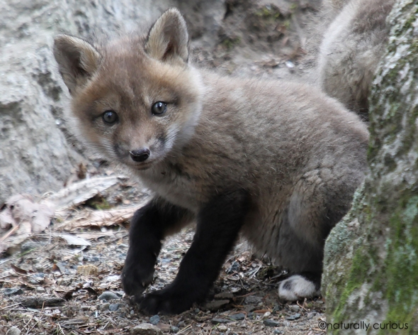 4-15-19 red fox kit IMG_7280
