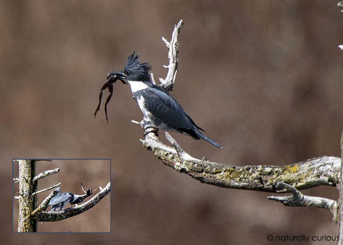4-22-19 belted kingfisher_U1A6927