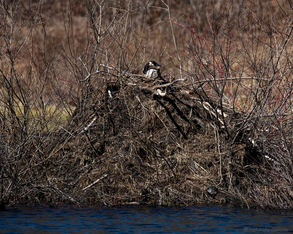 4-29-19 c. goose on beaver lodge _U1A7241