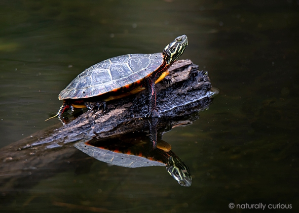 5-1-19 painted turtle_U1A7417