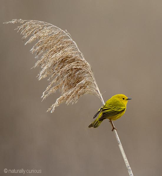 5-13-19 yellow warbler_U1A8433