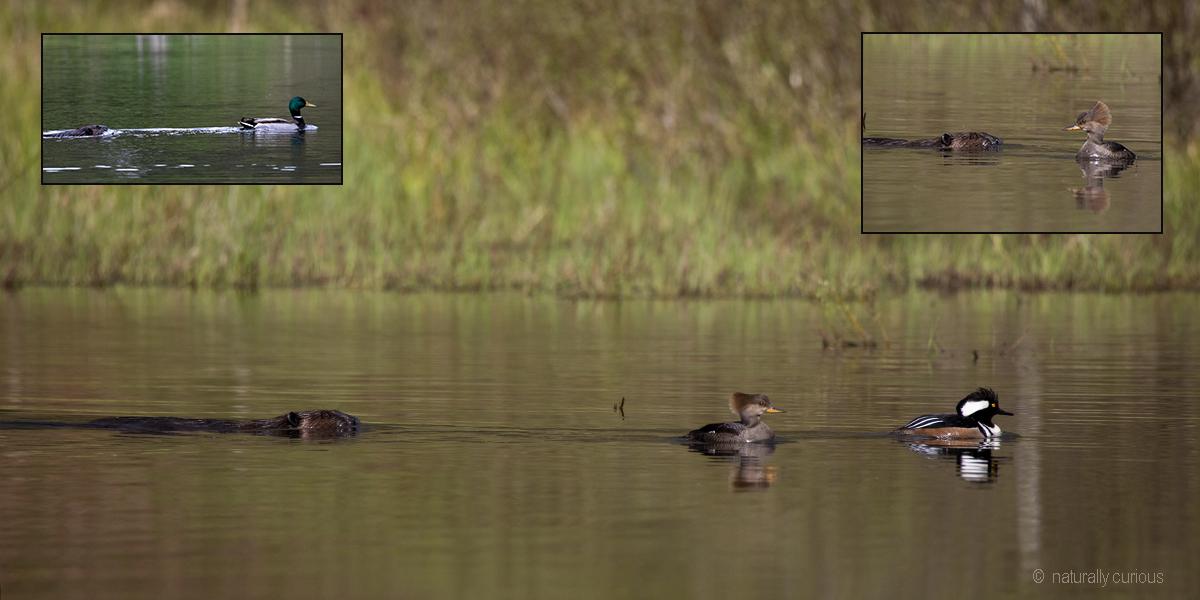 5-17-19 beaver and ducks_U1A0432