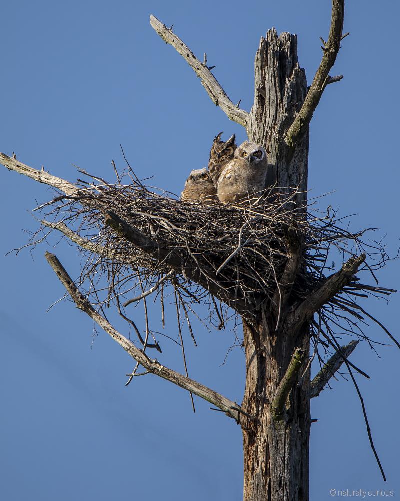 5-17-19 great horned owls_U1A8938