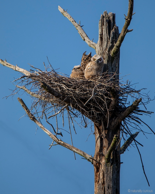 5-17-19 great horned owls_U1A8938