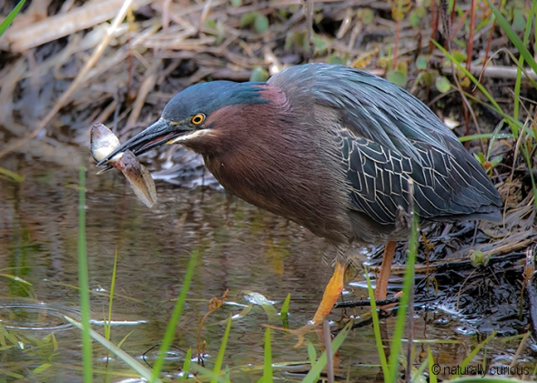 5-22-19 green heron and tadpole _U1A1148