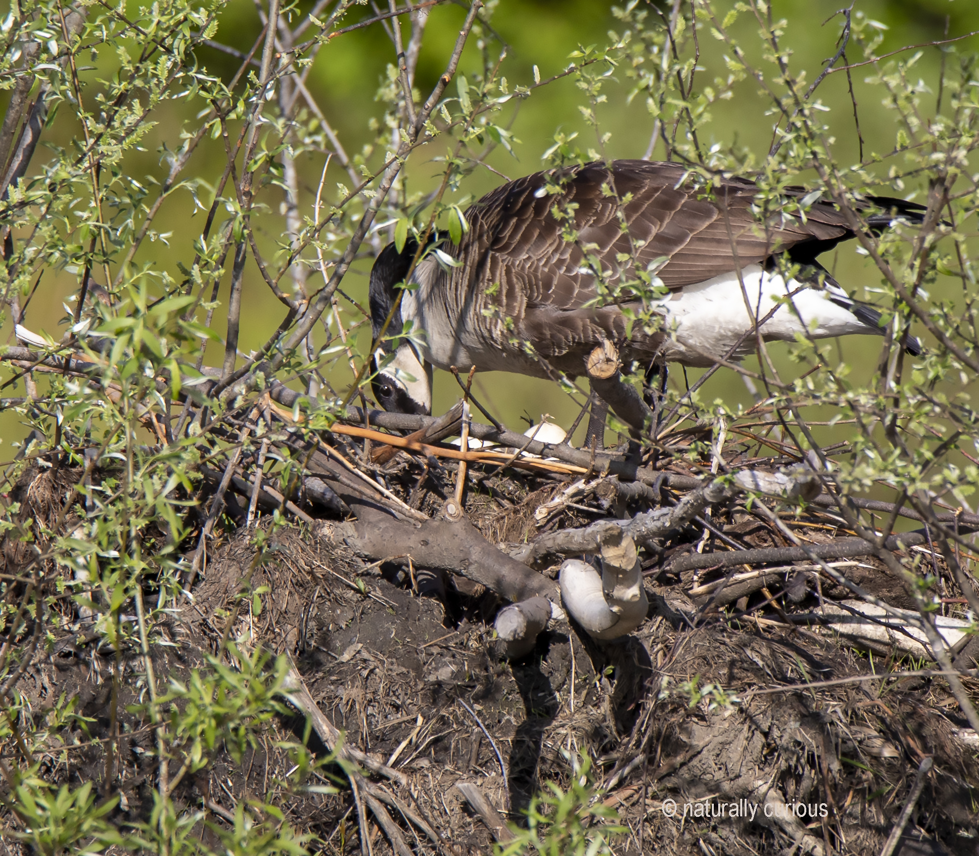 5-31-19 C. goose turning eggs 1B0A8783