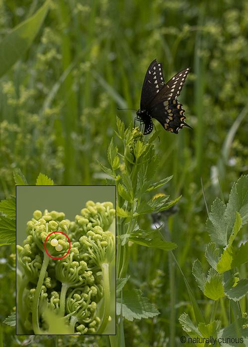 6-14-19 black swallowtail 0U1A0073