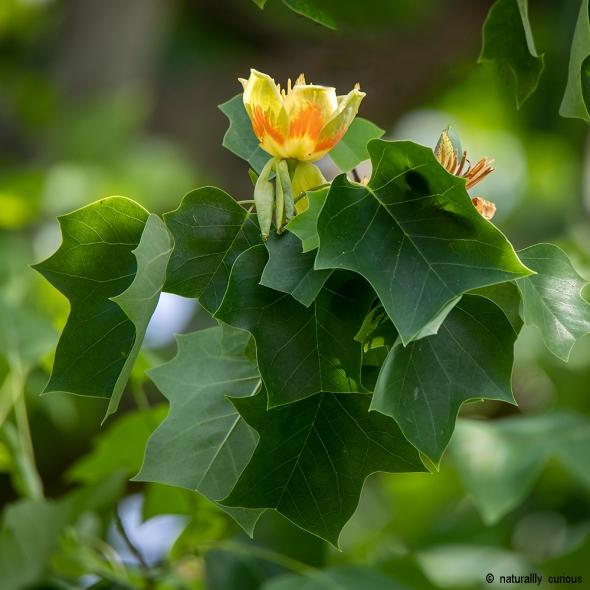 6-26-19 tulip tree2 0U1A0105