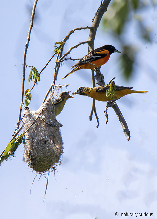 6-28-19 baltimore oriole family 0U1A0415