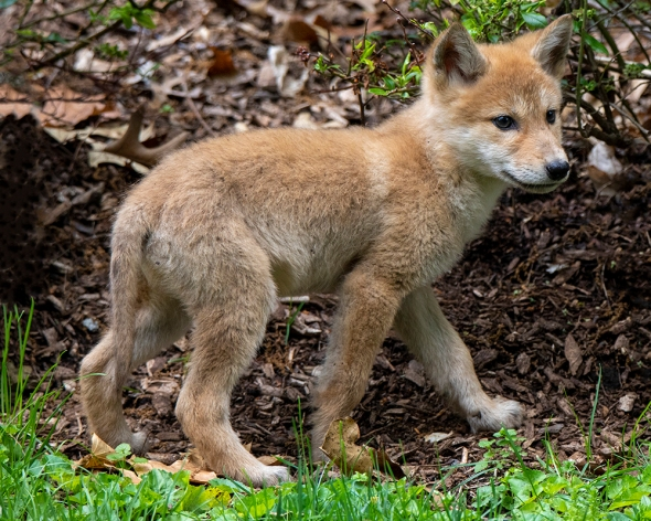 6-5-19 standing coyote pup2 1B0A1576
