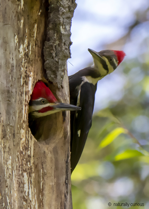 7-1-19 male and female pileated 0U1A0116