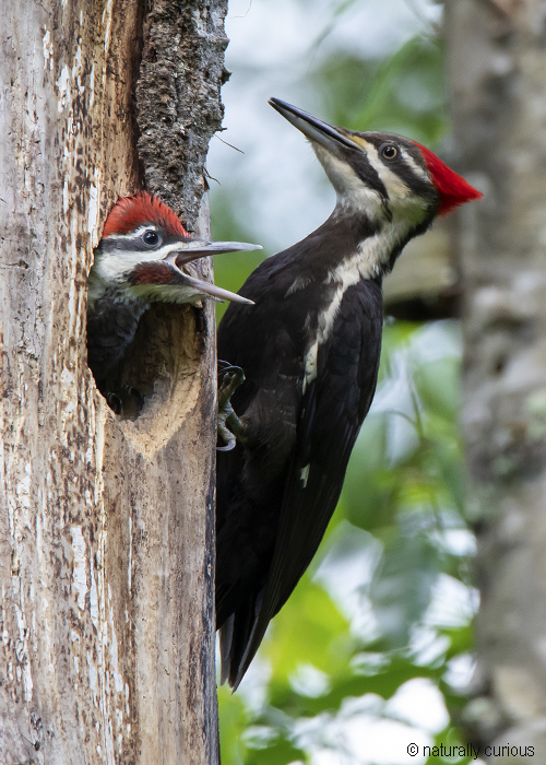 7-2-19 pileated and young 0U1A0579