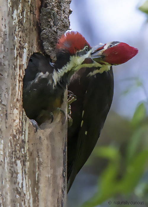 7-3-19 pileated feeding 0U1A0222