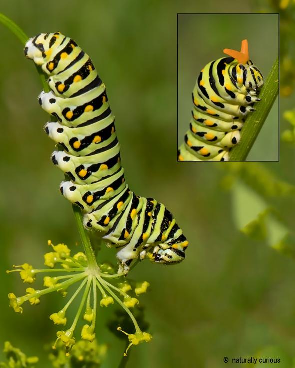 7-8-19 black swallowtail larva 0U1A0103